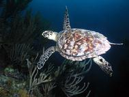 Hawksbill Turtle Dark Star Bahams