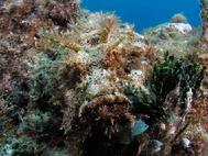 Scorpion fish well hidden Bahamas