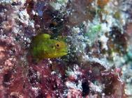 Rough Head Blenny Bahamas