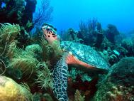 Hawksbill Turtle at Herbies Place Roatan Honduras