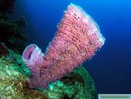 Purple Vase Sponge on wall Roatan Honduras