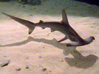 Hammerhead Sharks Pictures
